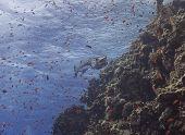 Gran Barracuda en un arrecife Tropical