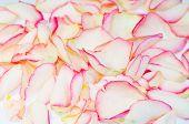 Постер, плакат: Романтический Фоновая текстура лепестков рассеянного Роуз
