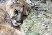 Mountain Lion Grooming