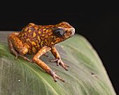 stock photo of orange poison frog  - Poison arrow frog Peru tropical Amazon rain forest beautiful amphibian from the exotic jungle a poisonous animal with bright orange color - JPG