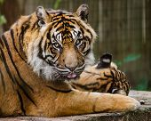 Portrait of Sumatran tiger (Panthera Tirgris Sumatrae)