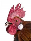 Gallic Rooster (1 Year Old)