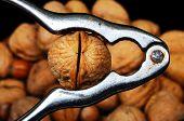 Walnut in nutcracker.