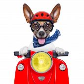 stock photo of ugly  - crazy silly motorbike dog with helmet and sticking out the tongue - JPG