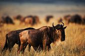 stock photo of wildebeest  - Black Wildebeest at sunset light  - JPG