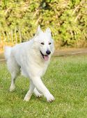 pic of swiss shepherd dog  - A young beautiful Berger Blanc Suisse dog walking on the grass. The White Swiss Shepherd dog looks like a German Shepherd but it is white. 