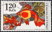 Carassius Auratus Auratus - Asian Goldfish
