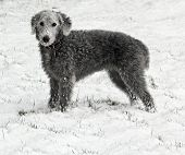 Bedlington Terrier In Snow