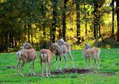 Roe deer group