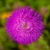 pic of scottish thistle  - macro shot of a vibrant magenta thistle flower