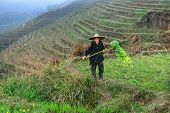 Asian Elderly Man, A Peasant Farmer Shepherd, Among Rice Terraces.