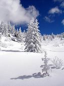 Snowy Seedling