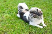 Beautiful Pekingese On Grass