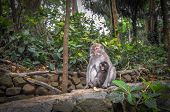 Long-tailed Macaques (macaca Fascicularis) In Sacred Monkey Forest, Bali Ubud