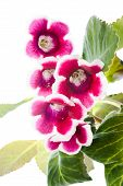 Blossoming Gloxinia Red With A White Rim, `Kaiser Friedrich`