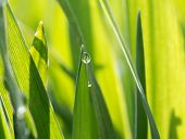 The Dewdrop On The Green Grass In The Sunshine