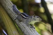 picture of walnut-tree  - Squirrel eat fruit sitting on a tree - JPG