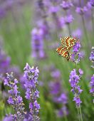 Butterflies mate on lavender flowers