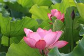 Lotus flowers and bud