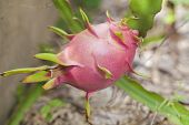 stock photo of dragon fruit  - A dragon fruit is on it plant - JPG