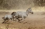 Two Zebras Gallopping