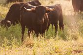 Fighting Bulls Breed Free-range