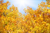 Sunny yellow autumnal maple leaves background