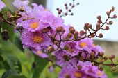 purple flowers and buds