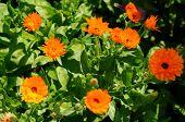 Bright Flowers Of Calendula