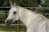 White Arabian Mare