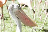 wildlife pelican, bird with huge beak