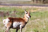 foto of mule  - Mule deer in Bryce Canyon National Park Utah - JPG