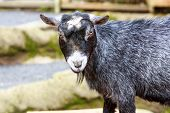 pic of pygmy goat  - Black pygmy goat close up look - JPG