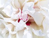 White Petal Peony Background