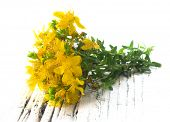 St John's wort flower, healing plant isolated