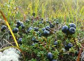 Blueberries Are In The Swamp. The Landscape Of The Northern Nature.