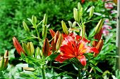 Flower Garden Plant - Red Lily Photo
