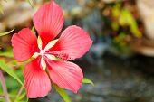 Scarlet Rose Mallow flower