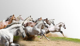 pic of wild horse running  - purebred horses herd isolated on a white - JPG