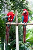Two beautiful red and blue macaw perched on a wooden post