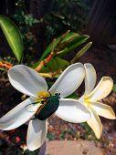 Fig Eater Beetle on Flower