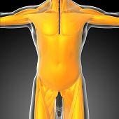 image of hamstring  - 3d render medical illustration of the human muscle  - JPG