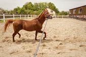 Young Arabian Horse