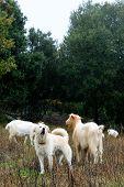 Goats Grazing.