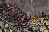 Delicious edible yellow mushrooms chanterelle (Cantharellus ciba-rius)
