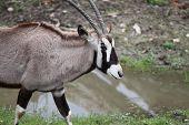 South African Gemsbok
