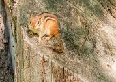picture of chipmunks  - A Chipmunk perched on a tree stump.