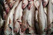 Whiting A Codfish