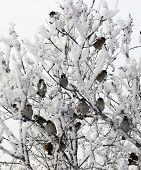 Flock Of Sparrows In Winter