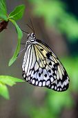 picture of nymph  - Beautiful paper kite butterfly  - JPG